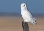 Snow Owl Male